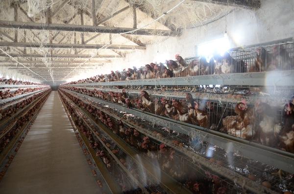 草亚虎手机app下载养殖场,亚虎pt网站蛋,亚虎手机app下载,蛋鸡养殖